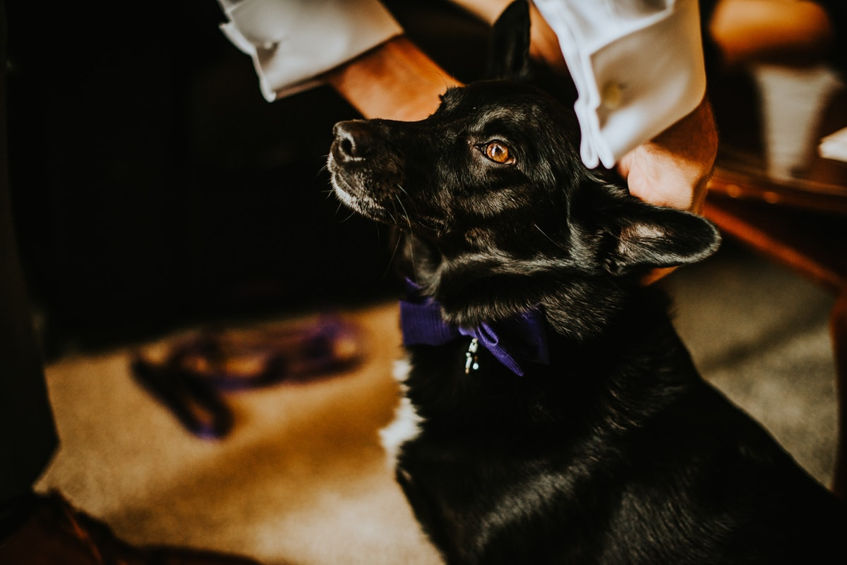dog getting wedding collar on